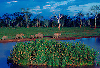 Elephants at a water hole at Treetops Game Reserve in Kenya, East Africa