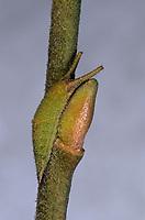 Großer Schillerfalter, Raupe, Apatura iris, Purple Emperor, caterpillar, Le Grand Mars changeant