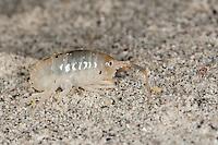 Strandfloh, im Spülsaum, Angespül, auf Sandstrand, Strand, Sandhüpfer, Strandhüpfer, Sandfloh, Strand-Floh, Talitrus saltator, syn. Talitrus locusta, Talitrus littoralis, sand hopper, sand-hopper, sandhopper, Flohkrebs, Flohkrebse, Amphipoda, amphipod crustacean