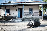 Pig in a village at Lake Toba (Danau Toba), North Sumatra, Indonesia