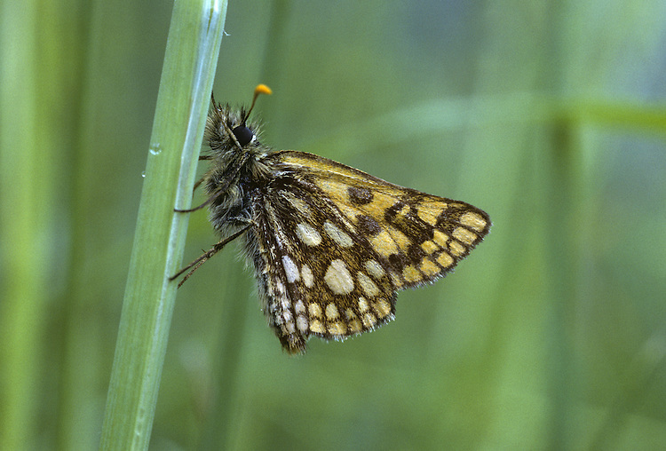 Chequered Skipper Carterocephalus palaemon Wingspan 25mm. An attractive little butterfly that attracts conservation interest. Hides in deep cover on dull days; active and fast-flying on sunny days but fond of sunbathing. Adult has rich brown upperwings with orange-yellow spots; underwings are paler brown than upperwings, with pale spots. Flies May–June. Larva is nocturnal and feeds on various grasses. Very locally common in open birchwoods in northwest Scotland; used to live in England but now extinct there.