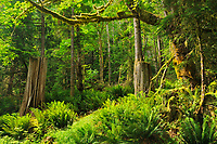 Coastal temperate rainforest, Egmont, British Columbia, Canada