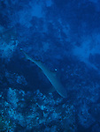 Blue Corner, Palau -- A whitetip reef shark on the wall at Blue Corner