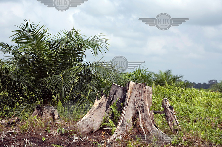 A tree stump is seen next to a young palm oil plant on the Duta Palma Plantation.