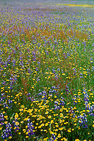Douglas' lupine and goldfields<br />