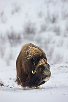 Bull muskox on the snow covered tundra of the arctic north slope, Alaska