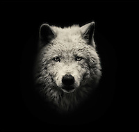 BNPS.co.uk (01202 558833)<br /> Pic: AlexTeuscher/BNPS<br /> <br /> ****Please use full byline****<br /> <br /> Arctic wolf.<br /> <br /> These zoo animals take on an altogether more sinister look after posing for a set of moody black and white portraits.<br /> <br /> Alex Teuscher has brought out the dark side in a range of exotic creatures including tigers, rhinos and elephants with his artistic project which took two years to complete.<br /> <br /> More than 200 photographs were taken to get the perfect set, which was snapped at zoos in Singapore and Switzerland.<br /> <br /> Alex's subjects also include a baboon, a grey crown crane, a green tree python and a Malay fish owl.<br /> <br /> Amazingly Alex, 31, from Geneva, Switzerland, only got into photography three years ago when his father gave him an old SLR camera.