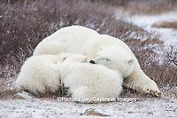 01874-13701 Polar Bears (Ursus maritimus) female with 2 cubs sleeping, Churchill, MB Canada