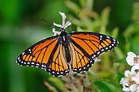 Viceroy butterfly (Limenitis archippus) spring, Lake Erie region, North America.