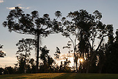 Fazenda Bauplatz, Brazil. Araucaria trees with the sun behind in late afternoon.