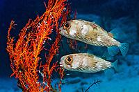 Two Balloonfishes, Diodon holocanthus , Mexico, Sea of Cortez, Pacific OceanBaja California, La Paz