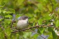 Klappergrasmücke, Zaungrasmücke, Klapper-Grasmücke, Zaun-Grasmücke, Grasmücke, Sylvia curruca, lesser whitethroat