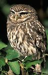 Little Owl, Athene noctua, captive.United Kingdom....