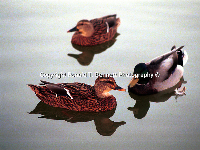Mallard drake swims with female ducks Anas Platyrhynchos Lake Oswego Oregon,  Oregon, Plains, woods, mountains, rain forest, desert, rain, Pacific Northwest, Fine Art Photography by Ron Bennett, Fine Art, Fine Art photography, Art Photography, Copyright RonBennettPhotography.com ©