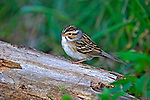 Clay-colored sparrow (Spizella pallida) perched on a log.  Spring. Winter, WI.