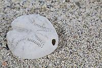 Herz-Seeigel, Herzseeigel, Herzseeigel, Seeigel-Skelett am Strand, Spülsaum, Skelett eines unregelmäßigen Seeigel, Irregularia, Seeigel-Kalk-Skelett, Corona, Echinocardium cordatum, sea potato, Sea urchin, urchin, sea hedgehog, carcass, drift line. Seeigel, Echinoidea, Sea urchins, urchins, sea hedgehogs, L'oursin-cœur, souris de mer, Échinioïdes, Échinides, Oursins, Hérissons de mer, Châtaignes de mer