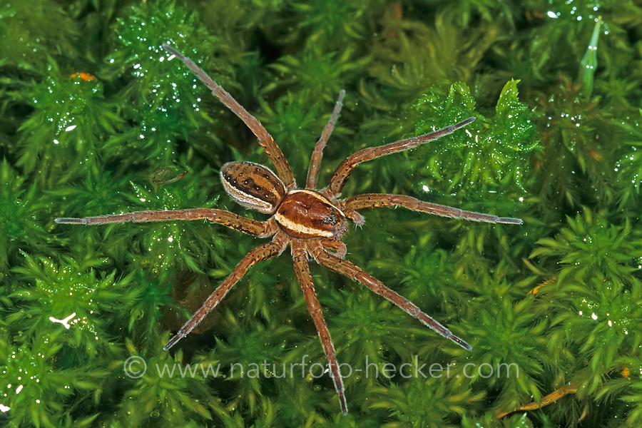 Gerandete Jagdspinne, Listspinne, Dolomedes fimbriatus, raft spider, raft-spider, la Dolomède des marais, Jagdspinnen, Pisauridae