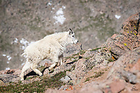 Mountain Goat (Oreamnos americanus) yearling heading uphill.  Amazing how fast these animals navigate their harsh and rocky environment. Mount Evans, Colorado.