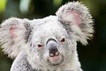 Kuranda, Queensland, Australia; Kuranda Koala Gardens, Koala (Phascolarctos cinereus) , © Matthew Meier, matthewmeierphoto.com All Rights Reserved