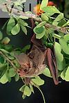 A California Leaf-Nosed Bat. (Macrotus californicus) Alamos, Sonora, Mexico