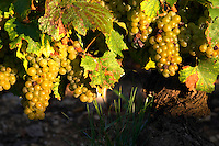 chardonnay beaune cote de beaune burgundy france