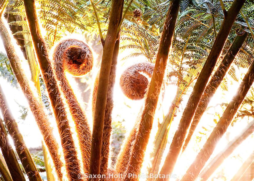 Frond fiddlenecks unfolding, Australian tree fern (Cyathea cooperi aka Sphaeropteris cooperi) in Lotusland garden, California