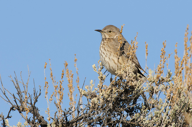 Sage Thrasher (Oreoscoptes montanus). Gunnison County, Colorado. April.
