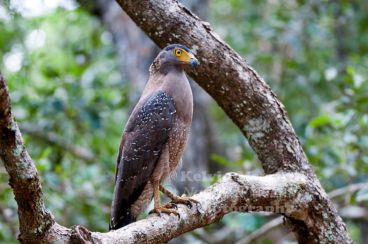 Crested serpent eagle (Spilornis cheela) is a medium-sized bird of prey that is found in forested habitats across tropical Asia. Within its widespread range across the Indian Subcontinent, Southeast Asia and East Asia, there are considerable variations and some authorities prefer to treat several of its subspecies as completely separate species. Bundala National Park - Sri Lanka.