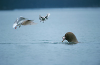 Steller's Sea Lion, Eumetopias jubatus, male with catched Heilbutt, Glacous-winged Gull, Homer, Alaska, USA, March 2000