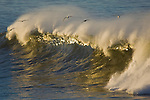 Seagulls flying over Ocean waves breaking at sunrise, San Mateo County coast, California