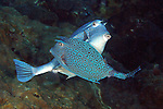 Acanthostracion polygonius, Honeycomb cowfish, Flower Garden Banks
