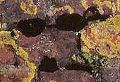 Black Lichen - Verrucaria nigrum
