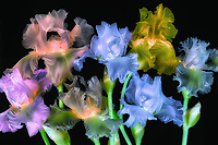 MIXED COLORED IRIS BOUQUET. OREGON