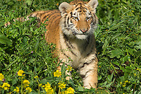 Siberian Tiger cub at about 4 1/2 months.