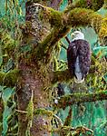 Bald eagle in Sitka Spruce, Alaska