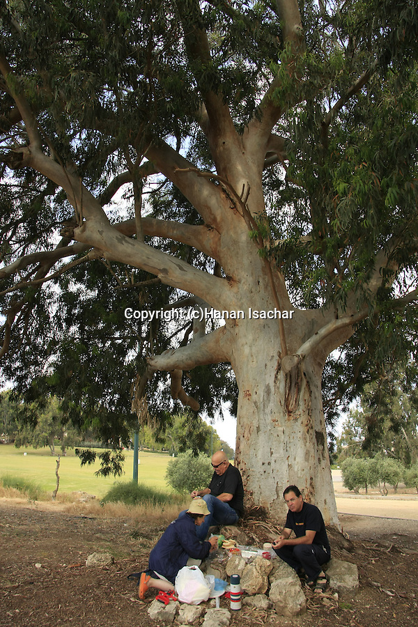 Israel, Sharon region, the renovated Heftziba Farm by Hadera River, a picnic under the Eucalyptus tree