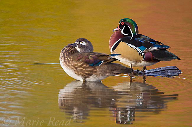 Wood Ducks(Aix sponsa), pair, fall color reflection in water, Ohio, USA