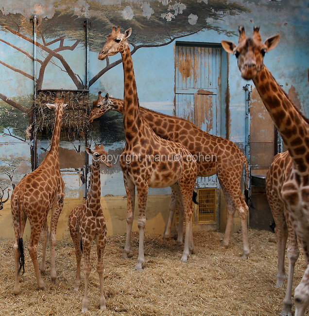 Giraffes in enclosure with fresco, Parc Zoologique de Paris, or Zoo de Vincennes, (Zoological Gardens of Paris, also known as Vincennes Zoo), 1934, by Charles Letrosne, 12th arrondissement, Paris, France, pictured on September 27, 2012. In November 2008 the 15 hectare Zoo, part of the Museum National d'Histoire Naturelle (National Museum of Natural History) closed its doors to the public and renovation works will start in September 2011. The Zoo is scheduled to re-open in April 2014. Picture by Manuel Cohen