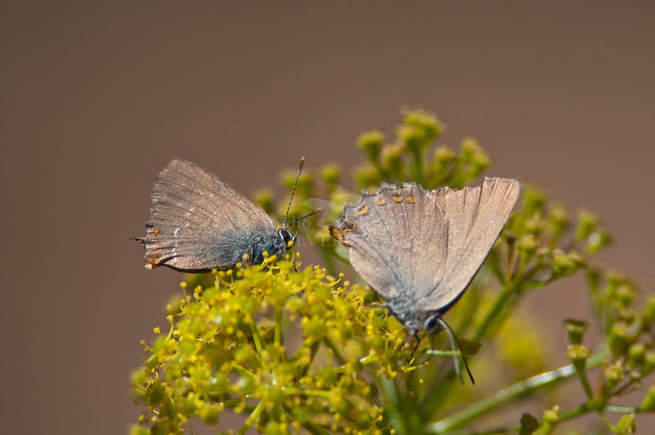 Bruine eikepage (Nordmannia ilicis)