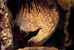 San Clemente Island, California; California Moray Eel (Gymnothorax mordax) , Copyright © Matthew Meier, matthewmeierphoto.com All Rights Reserved