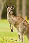 Eastern Grey Kangaroo (Macropus giganteus) female, Jervis Bay, New South Wales, Australia