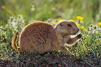 Young black-tailed prairie dog (Cynomys ludovicianus), Western Great Plains.