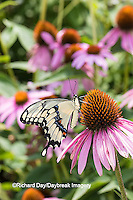 03017-01016 Giant Swallowtail butterfly (Papilio cresphontes) on Purple Coneflower (Echinacea purpurea)  Marion Co., IL