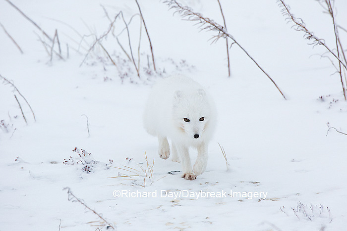 01863-01604 Arctic Fox (Alopex lagopus) in winter Churchil Wildlife Management Area Churchill, MB
