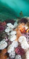 Colorful reef covered with White and Orange Plumose Anemones  ( Metridium farcimen and Metridium senile ) underwateer in Haida Gwaii, British Columbia, Canada.