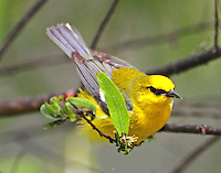Adult male blue-winged warbler