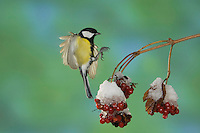 Great Tit, Parus major, male in flight landing on berries of European cranberry bush (Viburnum opulus) with snow, Oberaegeri, Switzerland, Europe