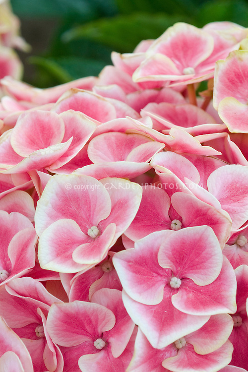 Picotee flowers of Hydrangea macrophylla Harlequin
