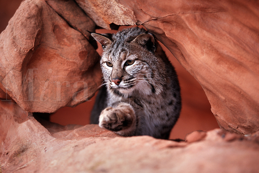 A bobcat maneuvers carefully through a sandstone passage. Utah.