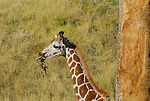 Young reticulated giraffe feeding